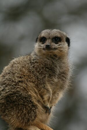 captive: Captive meerkat