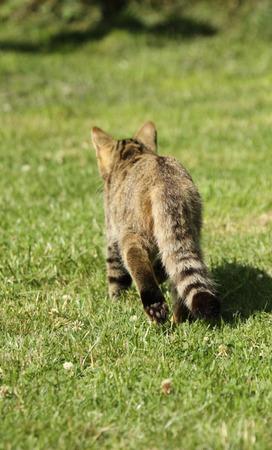 stalking: Stalking Scottish wildcat Stock Photo