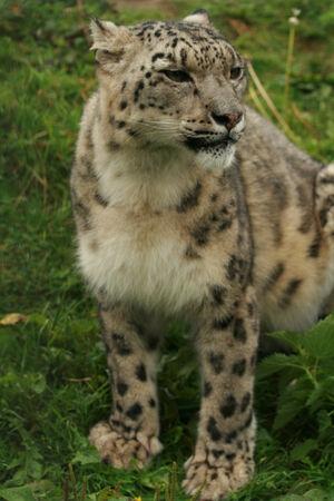 elusive: Snow leopard Stock Photo