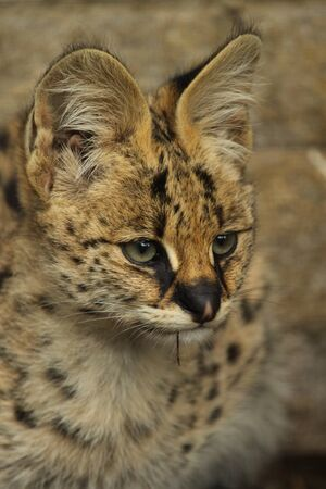 captive: Captive serval kitten