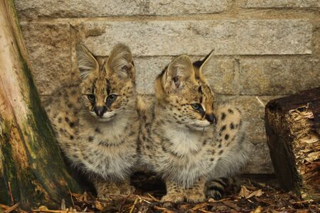captive: Captive serval kittens