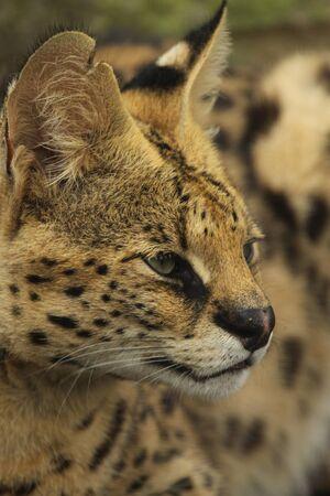 captive: Captive serval