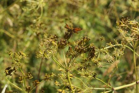 skipper: Small skipper butterfly in hedgerow