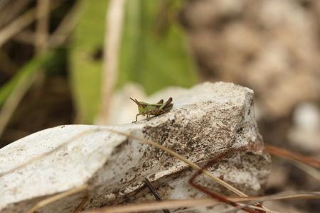 caelifera: Short-horned grasshopper on rock