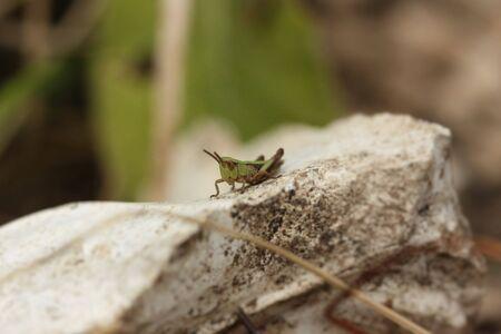 caelifera: Grasshopper on rock Stock Photo