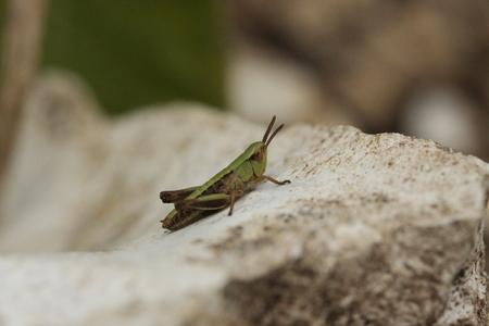 caelifera: Short-horned grasshopper