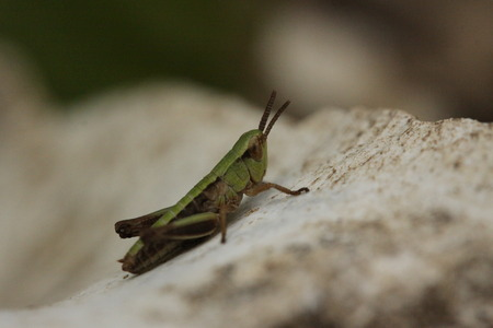 caelifera: Grasshopper on rock Stock Photo