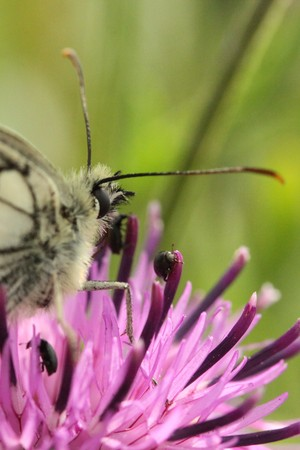 anthers: Marbled white butterfly on thistle