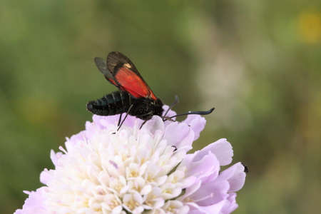 zygaena: Five-spot burnet moth on field scabious