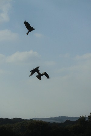 Red kites silhouetted against sky