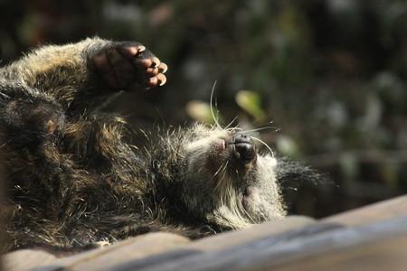 bearcat: Binturong sleeping Stock Photo