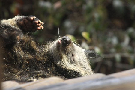 bearcat: Lazing binturong
