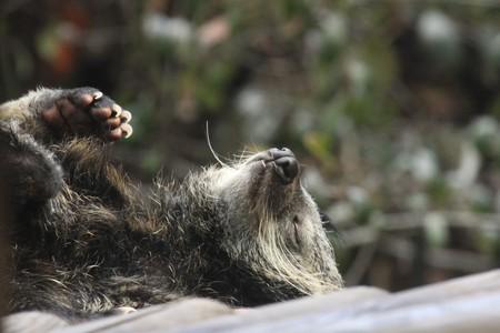 bearcat: Sleeping binturong Stock Photo