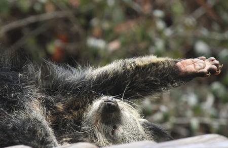 bearcat: Stretching binturong