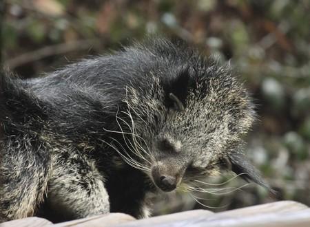 bearcat: Binturong