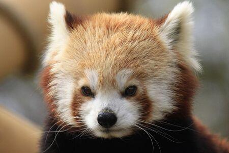 elusive: Red panda Stock Photo