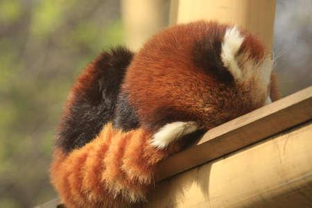 elusive: Sleeping red panda