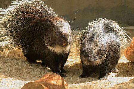 captive: Captive porcupines