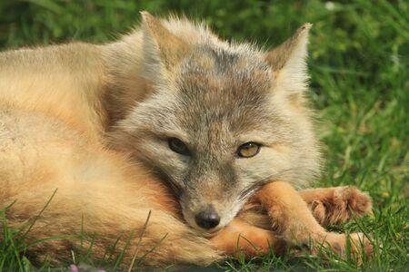 hunted: Corsac fox