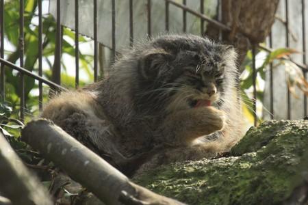 pallas: Washing pallas cat in captivity Stock Photo