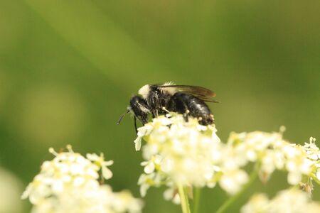 ashy: Ashy mining bee Stock Photo