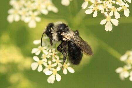 thorax: Ashy mining bee Stock Photo