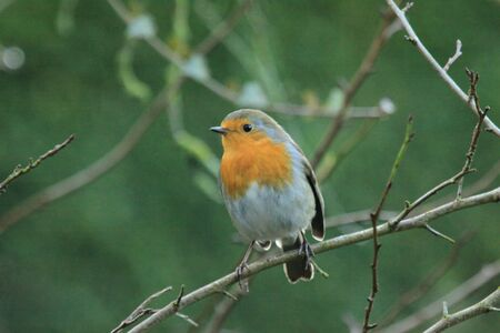 redbreast: Robin perched on twig Stock Photo