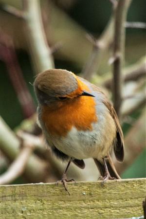 tilting: Robin tilting its head