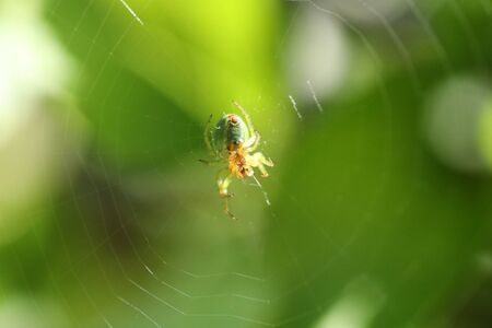 Green orb-weaver spider Stock Photo