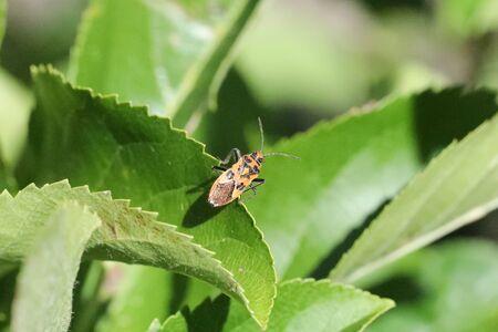 squash bug: Corizus hyoscyami Stock Photo