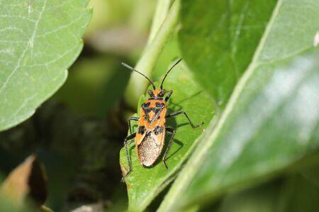 squash bug: Cinnamon bug