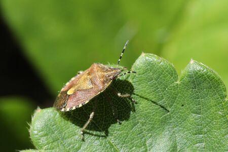 毛深い shieldbug 写真素材