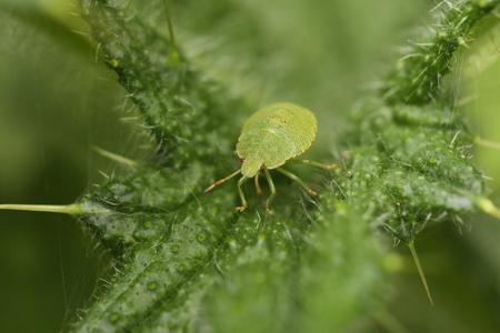 Shieldbug