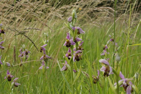 bee orchids in field 写真素材
