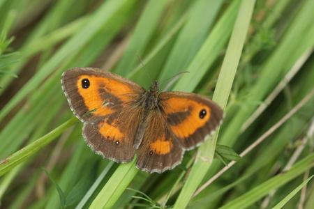 Gatekeeper butterfly Zdjęcie Seryjne