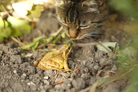 Tabby cat kissing frog Фото со стока