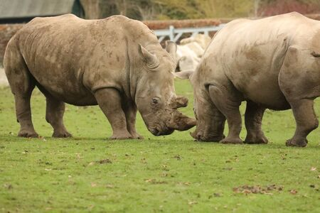 Rhinos head-to-head
