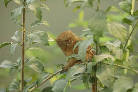 Pygmy marmoset in tree