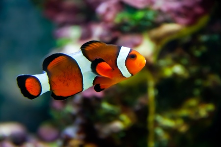 Vibrant Clownfish on the Reef Stock Photo