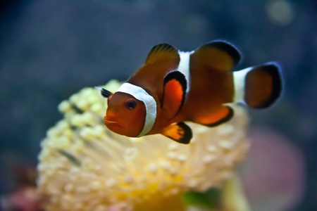 Stunning Clownfish Stock Photo