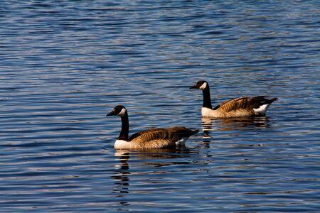 Two Geese on the Lake Фото со стока