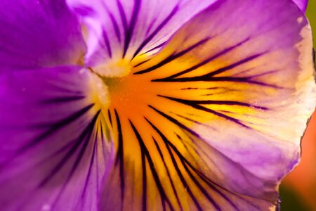 Vibrant Purple and Yellow Pansy
