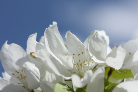 Apple Blossoms Up Close