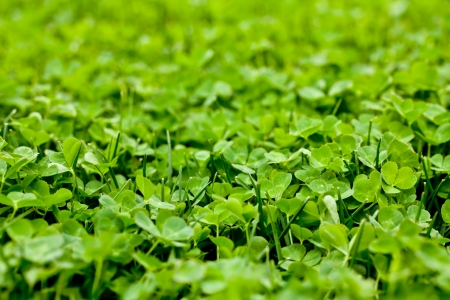 Clover Patch Stock Photo - 13985288