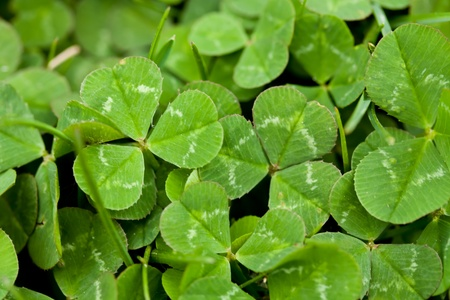 Clover Leaves Stock Photo - 13985285