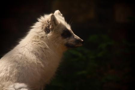 북극 여우