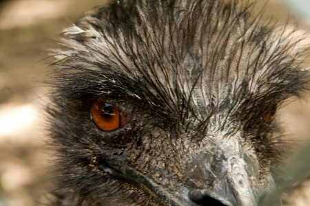 A close up view of a Emu looking out
