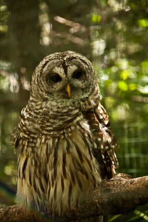 Curious Barred Owl