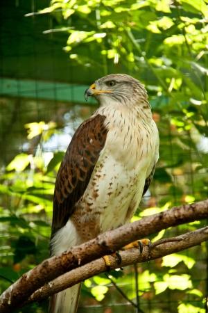 ferruginous: Ferruginous Hawk Stock Photo