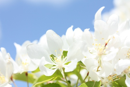 Bright white apple blossoms in the spring  Stock Photo